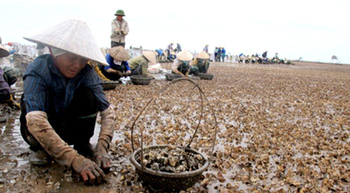 Thanh Hóa: Nghêu chết trắng bờ vì biển ô nhiễm